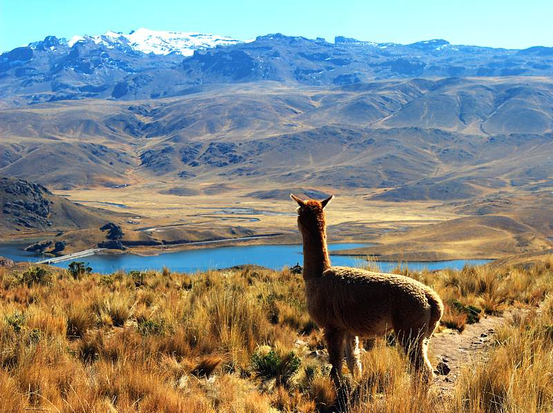 Alpaca gazing over the Peruvian mountains