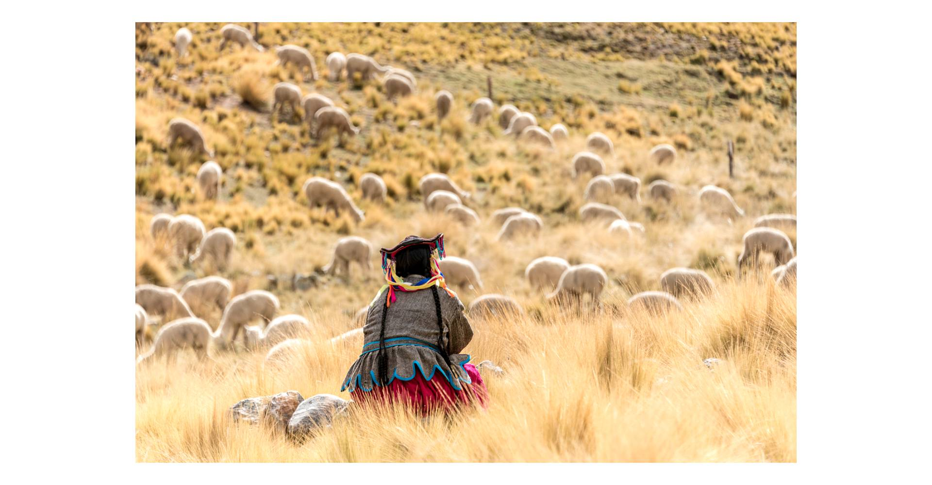 Alpaca farmer overseeing her herd in Peru