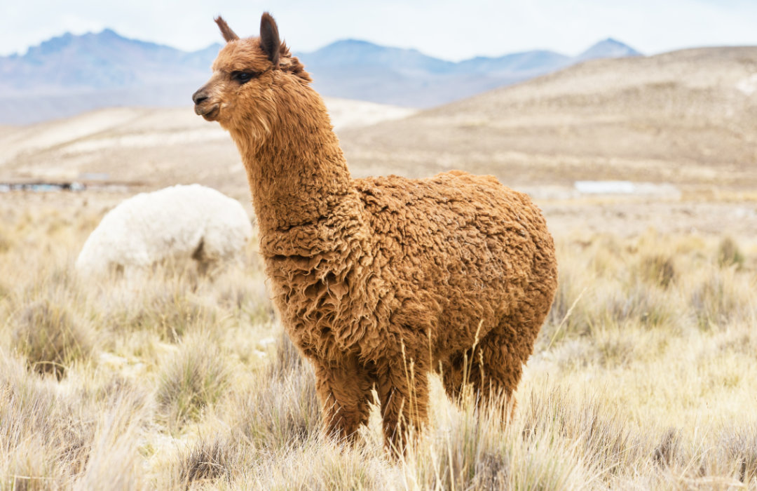 Our Alpaca Socks Are Made From The Highest Quality Alpaca Fiber And Have The Highest Content