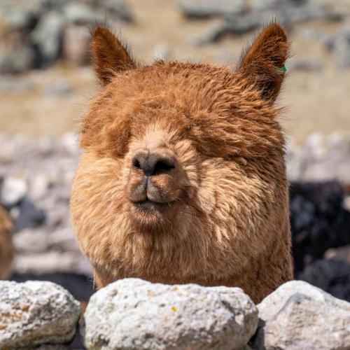 Baby Alpaca In Peru