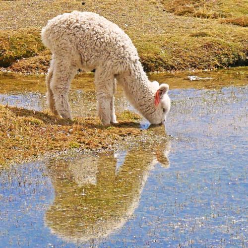 Baby Alpaca Drinking Water