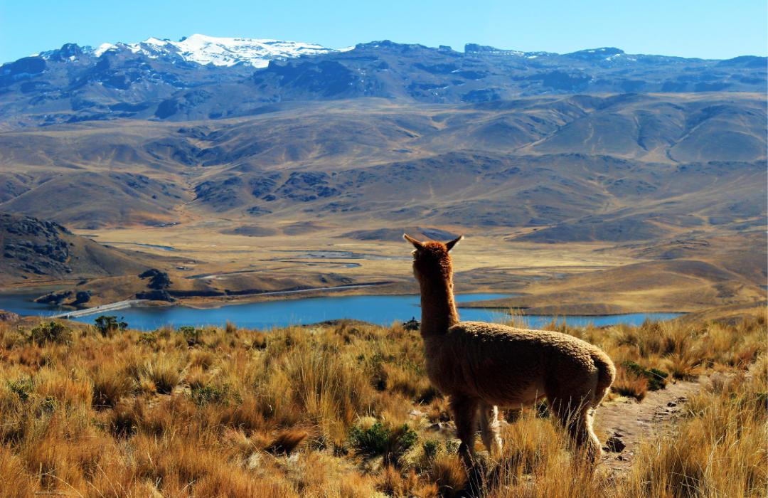 What Makes Mt. Caesar Alpacas Brand Special