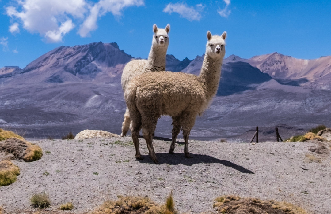 Since Our Inception In 2005, Mt. Caesar Alpacas Has Practiced Sustainability